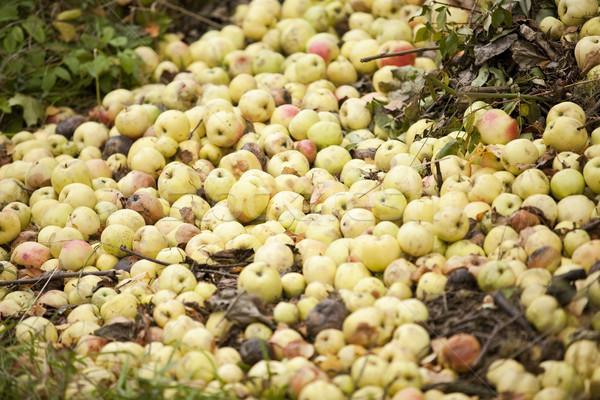 Rohadt almák köteg gyümölcs étel alma Stock fotó © gemenacom