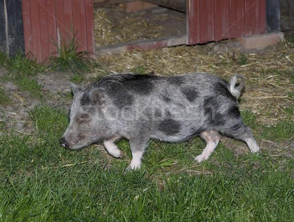 Javali porco animal agricultura ao ar livre Foto stock © gemenacom
