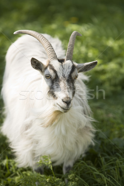 Goat Stock photo © gemenacom