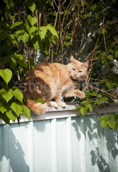 Macska kerítés virág mezőgazdaság kiscica Stock fotó © gemenacom