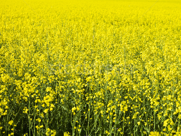 Oilseed Rape Stock photo © gemenacom