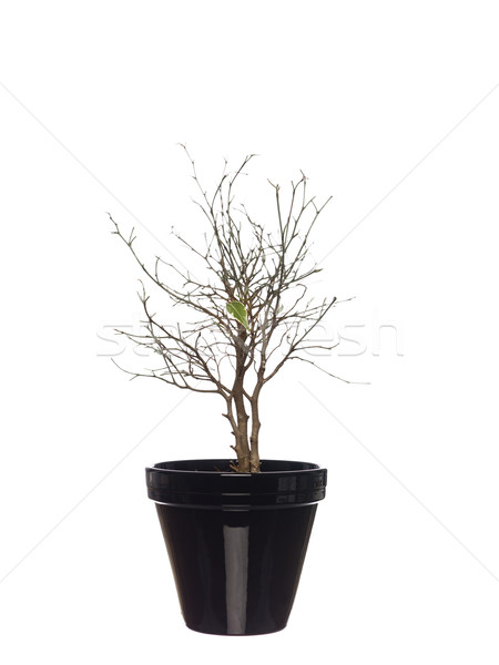 Withered potted plant Stock photo © gemenacom