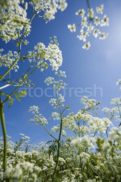 Inek maydanoz görmek mavi gökyüzü çiçek Stok fotoğraf © gemenacom