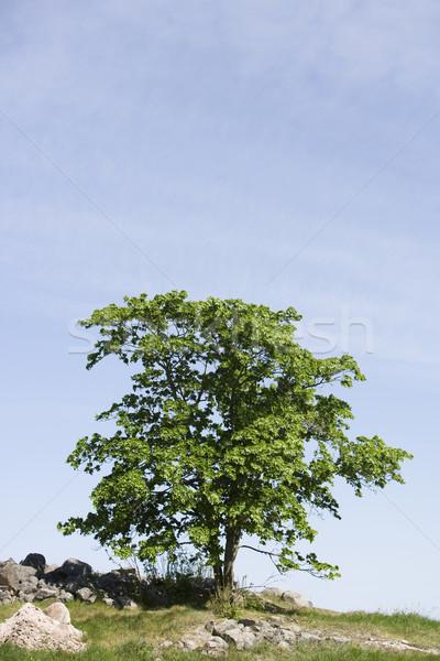Carvalho campo árvore primavera natureza verão Foto stock © gemenacom