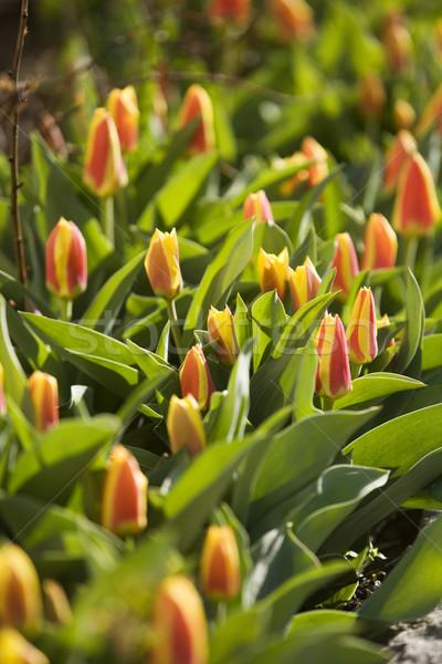 Tulipani grande gruppo full frame primavera campo tulipano Foto d'archivio © gemenacom