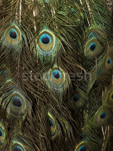 Néhány páva tollak összes kép Stock fotó © gemenacom