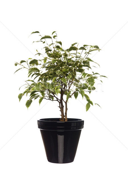Potted plant towards white background Stock photo © gemenacom