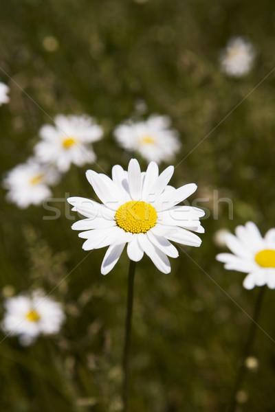 Daisy Flowers Stock photo © gemenacom