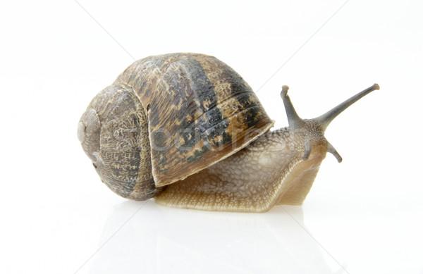 Photo stock: Escargot · lent · déplacement · shell · Retour · blanche