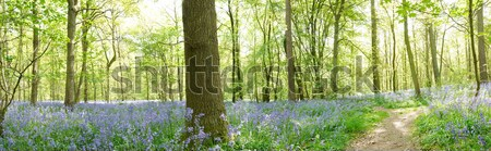 Panaramic view of bluebells Stock photo © gemphoto