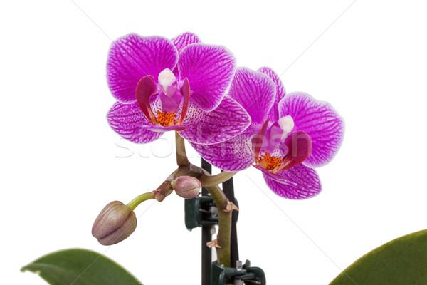 Paars orchidee witte voorjaar natuur achtergrond Stockfoto © GeniusKp