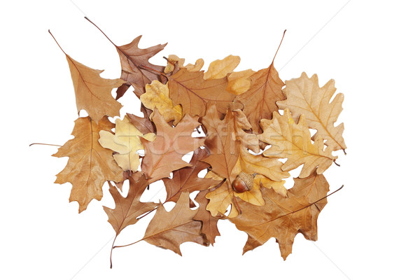 Bos eiken bladeren geïsoleerd witte boom Stockfoto © GeniusKp