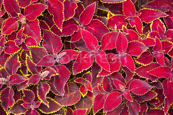 red coleus plant close up Stock photo © GeniusKp
