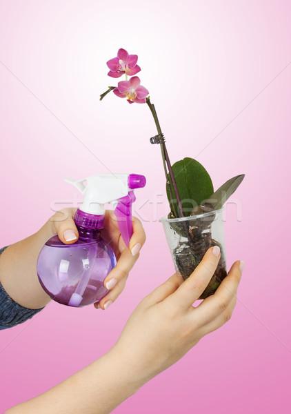 Woman's hand spray pink orchid Stock photo © GeniusKp