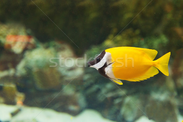 Yellow fish in the aquarium Stock photo © GeniusKp