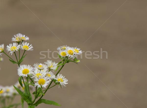 Papatyalar kahverengi çiçek bahar güzellik Stok fotoğraf © GeniusKp