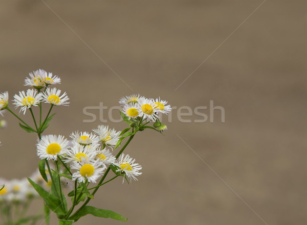 Wild daisies Stock photo © GeniusKp