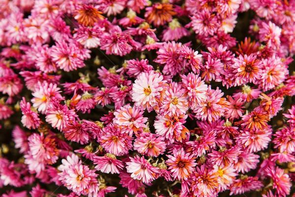 çiçekler pembe çiçek bahar doğa bahçe Stok fotoğraf © GeniusKp