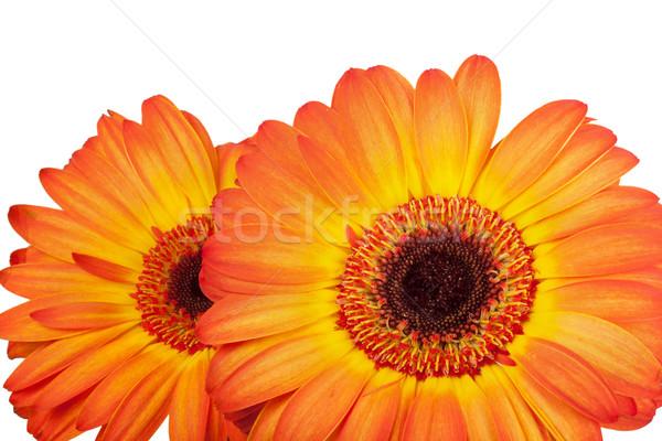 Twee oranje natuur tuin zomer Stockfoto © GeniusKp