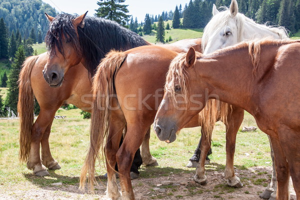 Grupo montana caballos marrón viendo espera Foto stock © georgemuresan