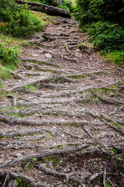 пути корней лесу из землю дерево Сток-фото © georgemuresan