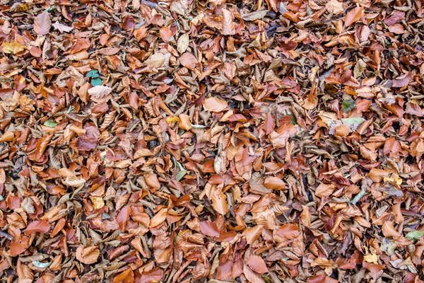 Muertos hojas secado hojas de otoño forestales parque Foto stock © georgemuresan
