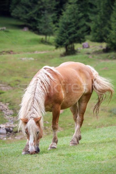 Bay horse grazing grass Stock photo © georgemuresan