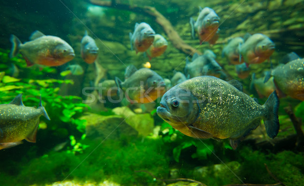 пиранья аквариум воды рыбы природы оранжевый Сток-фото © Geribody