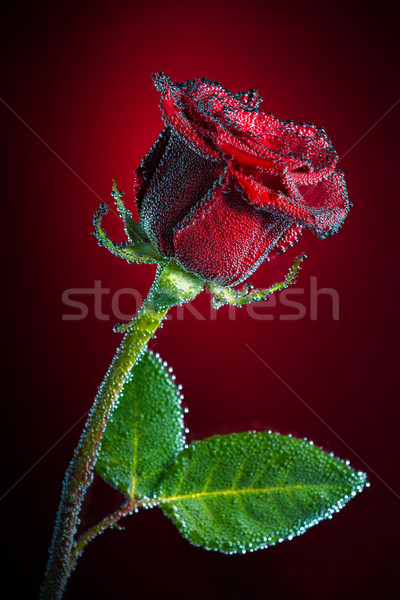 Rose with bubbles Stock photo © Geribody