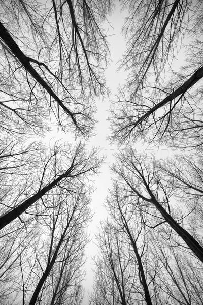 Preto e branco floresta árvores abaixo efeito abstrato Foto stock © Geribody