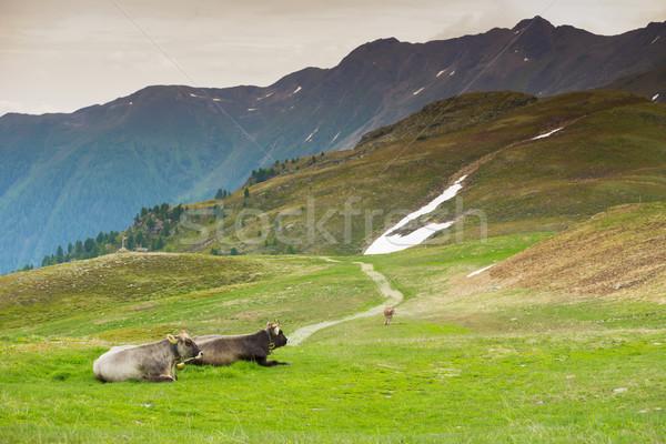 Tehenek alpesi legelő tavasz nyár zöld Stock fotó © Geribody