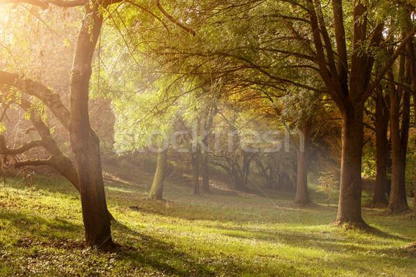 ışık ağaçlar puslu sabah ağaç orman Stok fotoğraf © Geribody