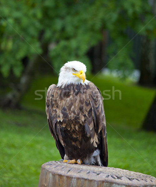 sea eagle with white head standing Stock photo © gigra