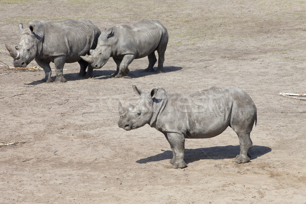 Three white rhinoceros or square-lipped rhinoceros (Ceratotherium simum) Stock photo © gigra