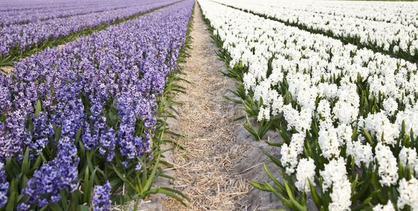 Field of beautiful purple and white Dutch hyacinths Stock photo © gigra