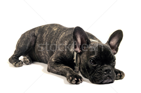 French bulldog Stock photo © Gilles_Paire
