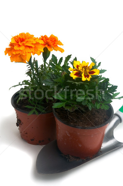 French marigolds Stock photo © Gilles_Paire