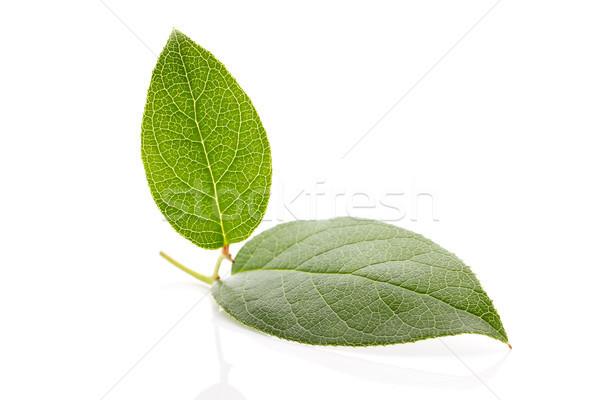 Folha verde isolado branco primavera folha fundo Foto stock © gitusik