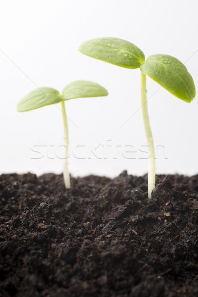 Tohumları büyümüş genç fidan bahar yaprak Stok fotoğraf © gitusik