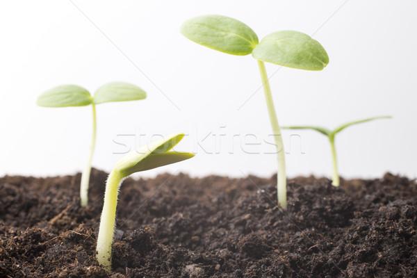 Magok megnőtt fiatal palánták tavasz levél Stock fotó © gitusik