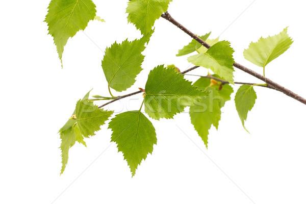 береза листьев дерево изолированный белый саду Сток-фото © gitusik