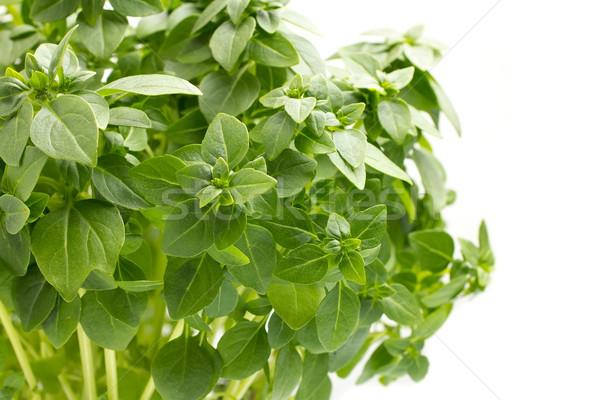 Fesleğen yalıtılmış beyaz yeşil sebze yeme Stok fotoğraf © gitusik