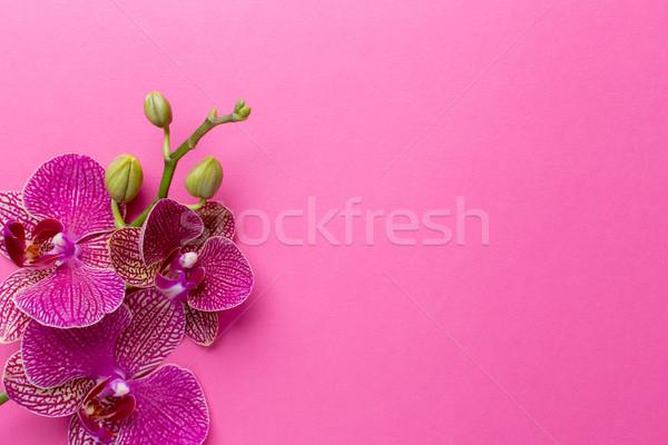 Orchidea rózsaszín virágok pasztell fa háttér Stock fotó © gitusik