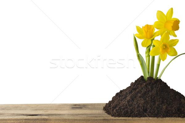 Nergis sarı beyaz Paskalya tebrik kartı çiçek Stok fotoğraf © gitusik