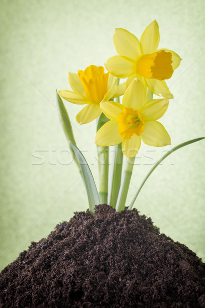 Daffodils. Stock photo © gitusik