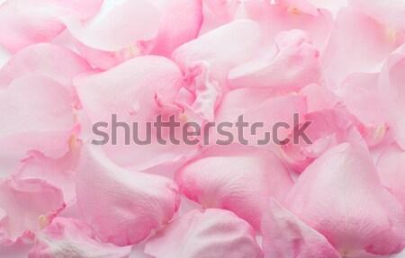 Petali rosa petali di rosa isolato bianco fiore Foto d'archivio © gitusik