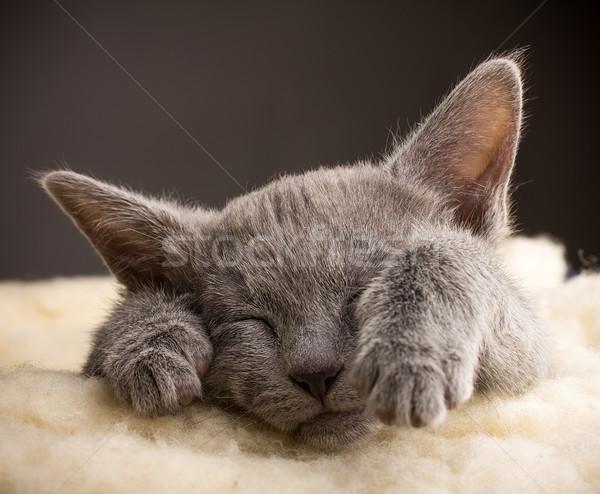 子猫 寝 ロシア 青 猫 動物 ストックフォト © gitusik