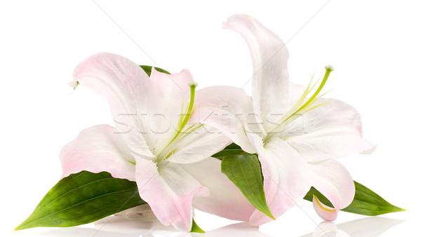 Zambak yalıtılmış beyaz çiçekler doğa yeşil Stok fotoğraf © gitusik