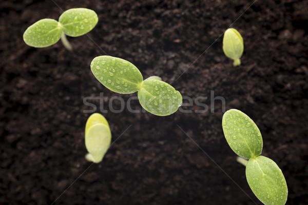 Magok megnőtt fiatal palánták levél háttér Stock fotó © gitusik