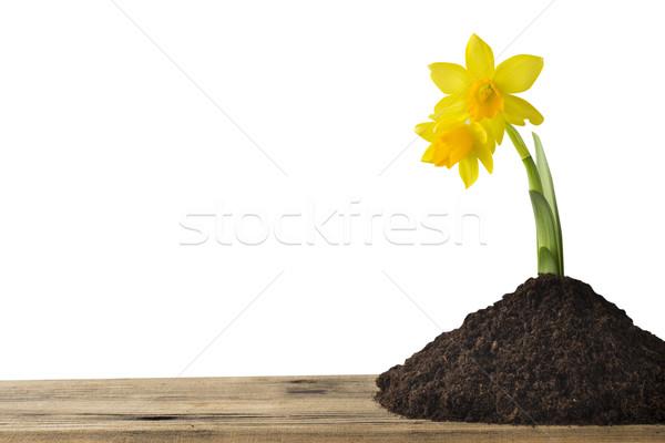 水仙 黄色 白 イースター グリーティングカード 花 ストックフォト © gitusik